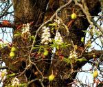 Kastanienblüte-im-Herbst-von-Monika-Germ