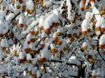 Schneeäpfel-von-Monika-Germ