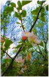 Apfelblüte-von-Gudrun-Kargl