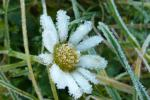 Gänseblümchen-2-im-Winter-Monika-Germ