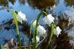 Frühlingsknotenblume-am-Bach-von-Monika-Germ