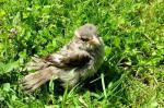 Monika-Germ-Jungvogel-Merlin